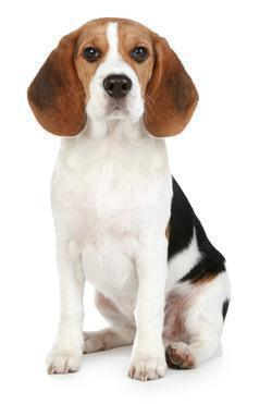 Beagle adulto Seduto