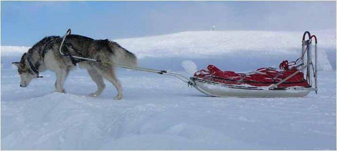 Alaskan Malamute con slitta