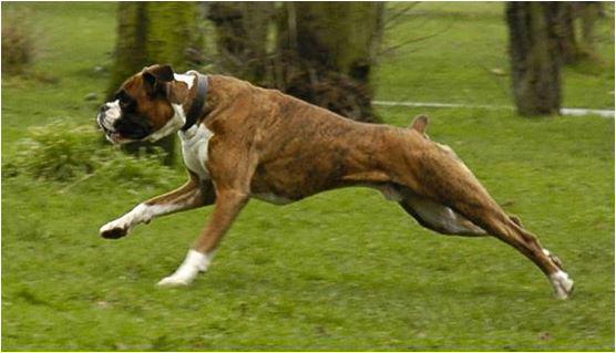 foto cane Boxer
