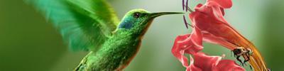 colibri in volo