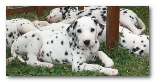 cucciolo di Dalmata