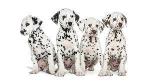 cuccioli di dalmat