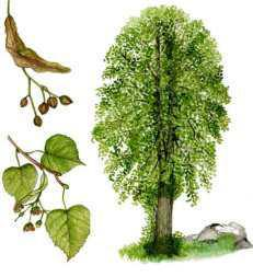 albero zodiacale celtico
