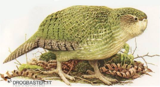 pappagallo gufo