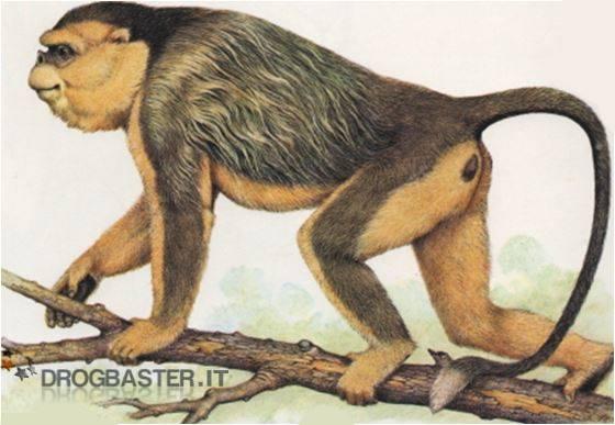 La scimmia arancione con il naso camuso