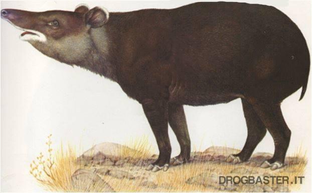 tapiro delle Ande