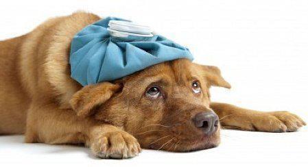 malattia del cane cure per la salute del cucciolo
