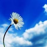 fiori sfondi margherita
