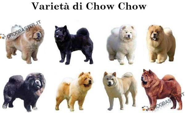 Chow Chow: Scheda e ca...