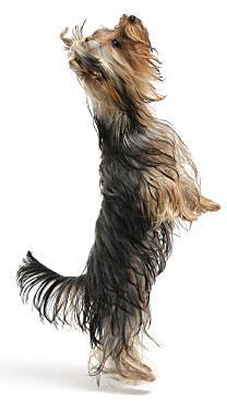 yorkshire terrier su due zampe